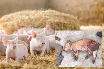 Bệnh dịch tả lợn châu Phi (ASF) và phương pháp chẩn đoán chính xác