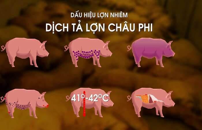 Hình ảnh miêu tả các triệu chứng của dịch tả lợn Châu Phi