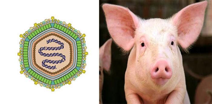 VirusASFV là nguyên nhân chính gây dịch tả Châu Phi
