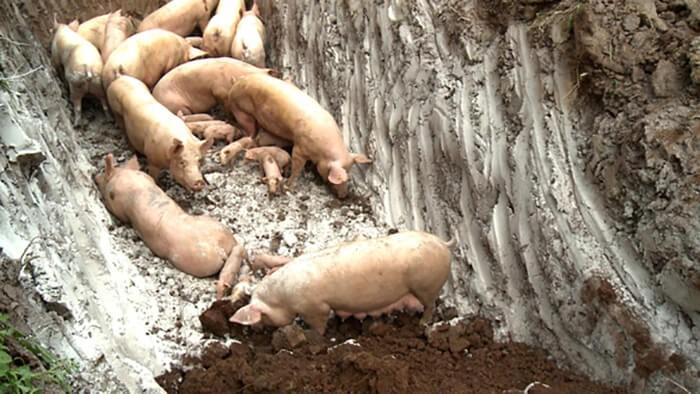 Tiêu hủy ổ dịch tả lợn Châu Phi