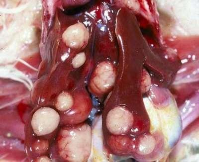 Cơ chế gây bệnh Marek (bệnh ung thư) ở gà và thuốc điều trị