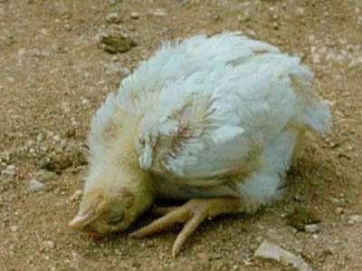 Bệnh Newcastle ở gà (bệnh gà rù): biểu hiện, bệnh tích, cách chữa
