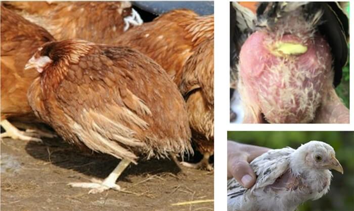 Gà mắc bệnh thương hàn ở mọi lứa tuổi, chủ yếu là gà trưởng thành