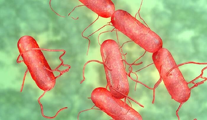 Cơ chế gây bệnh thương hàn gà là do vi khuẩn Salmonella