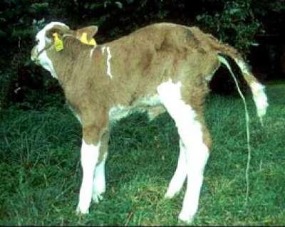 Bò bị tiêu chảy do virus (Bovine Viral Diarrhoea) phòng trị như thế nào?