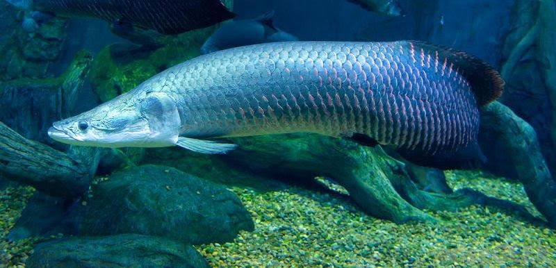 Cá hải tượng thường có màu xanh ánh ngọc