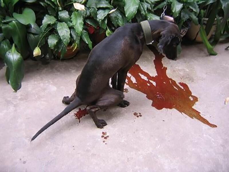 Chó nôn và đi ngoài phân lỏng khi chó bị bệnh đường ruột