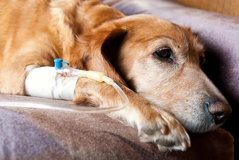 Chó bị suy nhược cơ thể và mất nước khi chó bị bệnh đường ruột