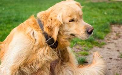 Dấu hiệu nhận biết chó bị ghẻ và biện pháp điều trị