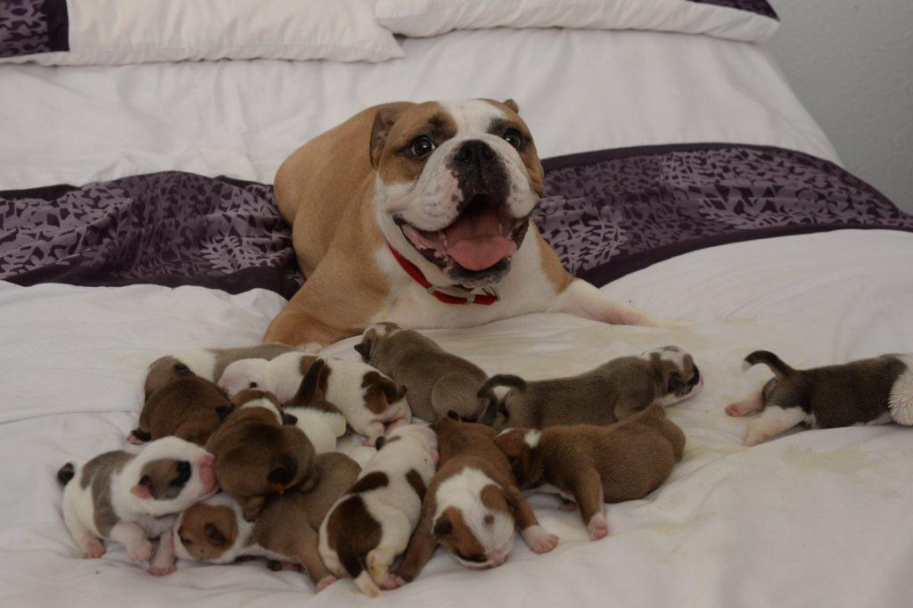 Mỗi năm chỉ nên cho chó đẻ một lứa là tốt nhất
