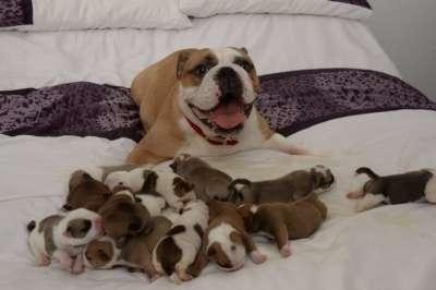 Một năm chó đẻ mấy lứa? Tuổi sinh sản của chó là bao nhiêu?