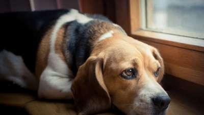 Nguyên nhân và dấu hiệu chó sảy thai - Xử lý thế nào để không ảnh hưởng đến chó mẹ?
