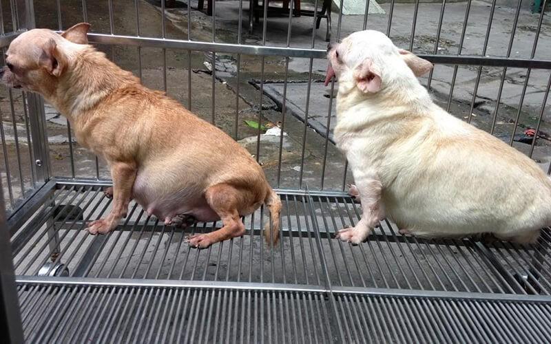 Nhận biết chó mang thai thông qua kích thước vòng bụng