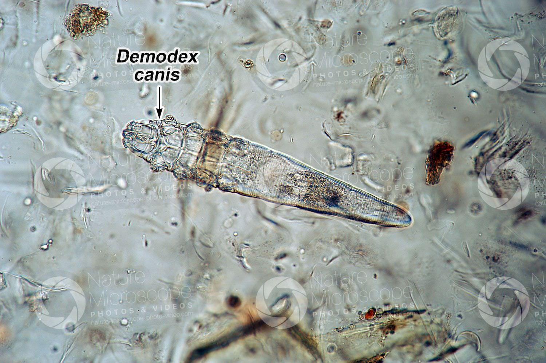 Ký sinh trùng Demodex Canis