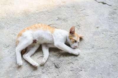 Bệnh co giật do thiếu canxi ở chó mèo (sốt sữa) trước và sau khi đẻ