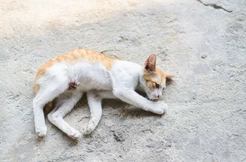 Mèo co giật khi bị thiếu canxi - bệnh thường gặp ở mèo