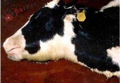 Bệnh tụ huyết trùng ở trâu bò: chẩn đoán, bệnh tích và điều trị