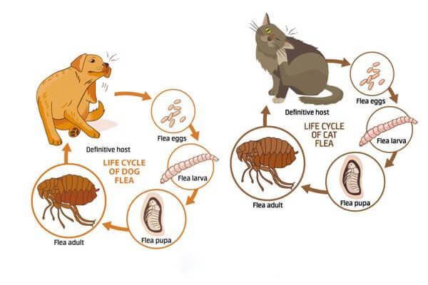 Vòng đời của ve chó từ trứng => ấu trùng => nhộng => ve chó