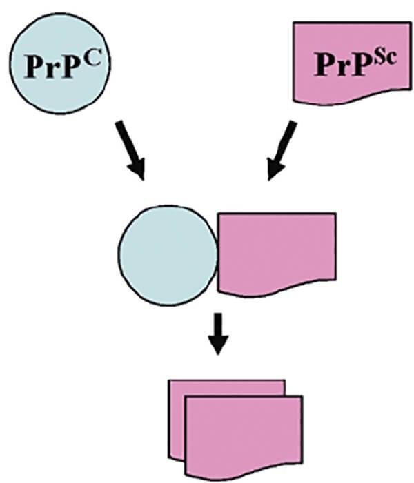 Minh hóa quá trình biến đổi Prion ở bệnh bò điên