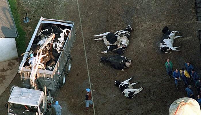 Tiêu hủy bò mắc bệnh bò điên