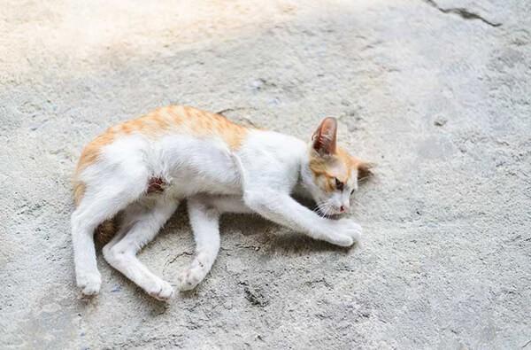 Triệu chứng co giật do thiếu canxi ở mèo