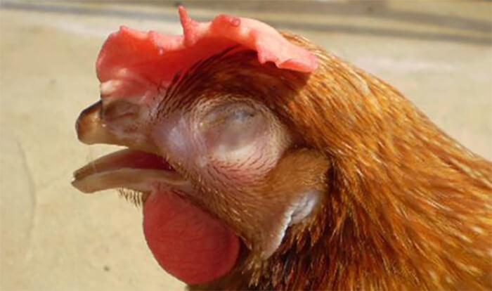 Gà bị hen, khó thở, mặt sưng, mắt nhắm nghiền khi bị bệnhCRD trên gà