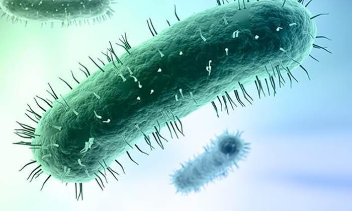 Vi khuẩnMycoplasma gây bệnh CRD ở gà