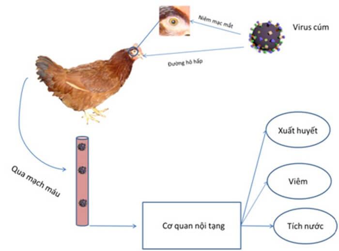 Cơ chế xâm nhiễm của virus gây bệnh cúm gia cầm