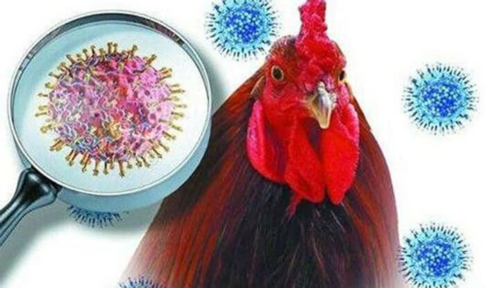 Dịch cúm gà do virus gây ra (hình ảnh minh họa)