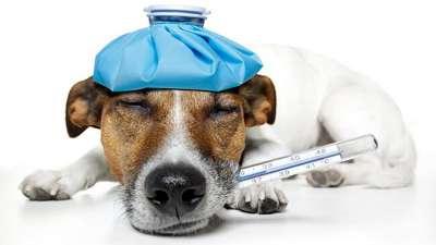 Hướng dẫn điều trị bệnh cúm ở chó (virus H3N8)