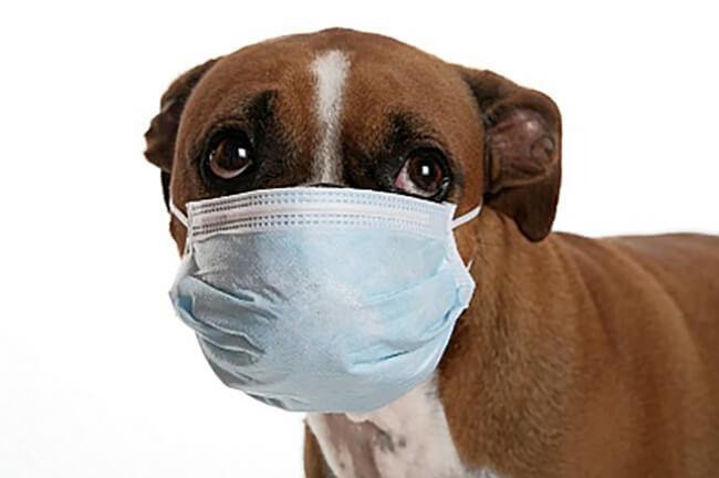 Đeo khẩu trang, cách ly vật nuôi bị bệnh cúm ở chó