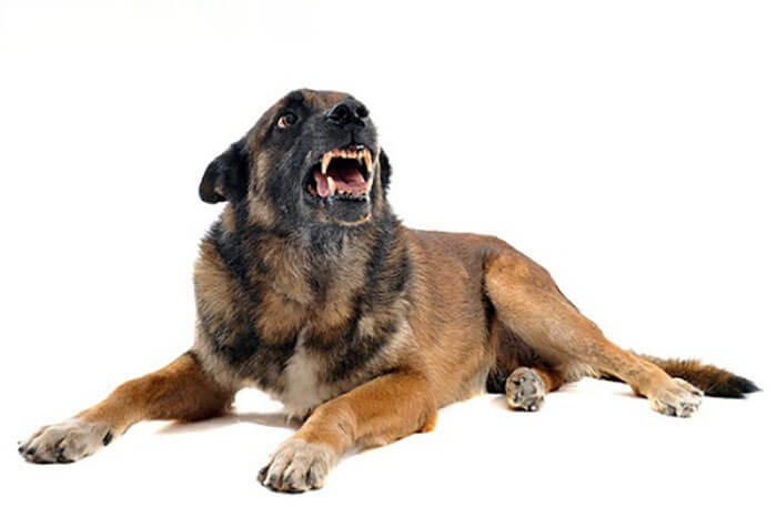Bệnh dại ở chó xuất hiện nhiều ở Việt Nam