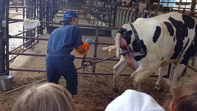 xử lý kéo thai ra ngoài khắc phục tình trạng bò đẻ khó