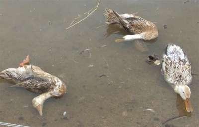 Bệnh dịch tả vịt (Duck Virus Enteritis, Duck Plague, Pestis anatum)