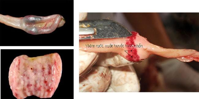 Bệnh tích mổ khám bệnh dịch tả vịt