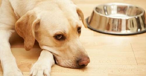 Chó bị viêm ruột ủ rũ mệt mỏi