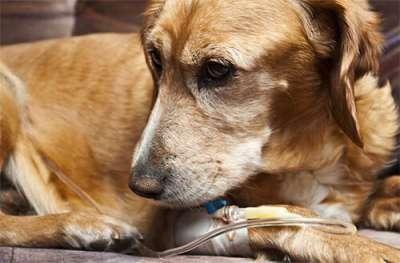 Hướng dẫn điều trị bệnh đường ruột ở chó đúng cách