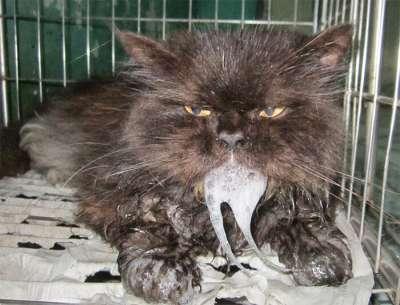 Cách phòng trị bệnh giảm bạch cầu ở mèo (Felien Panleocopenia) từ chuyên gia
