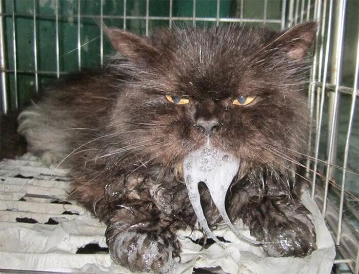 Mèo nôn khi bị bệnh giảm bạch cầu