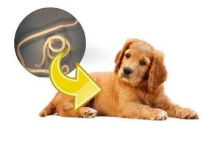 Những điều cần biết về bệnh giun đũa chó mèo Toxocara