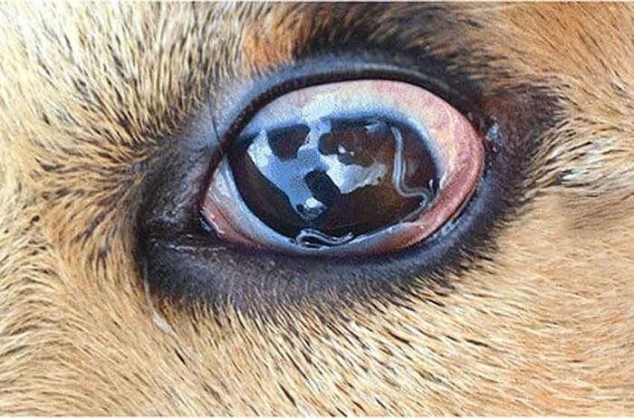 Giun móc ở mắt chó