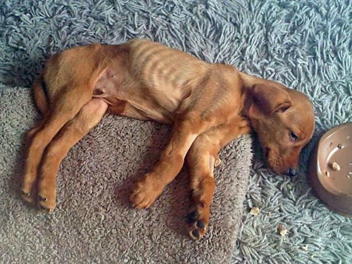 Chó ủ rũ, kiệt sức khi bị bệnh giun móc chó