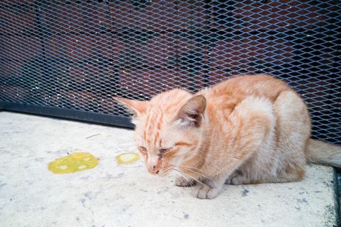 Mèo nôn ra giun móc