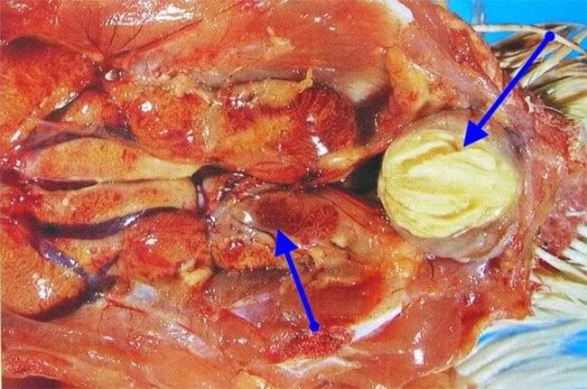 Bệnh Gumboro ở gà thận xuất huyết, túi Fabricius chứa bã đậu