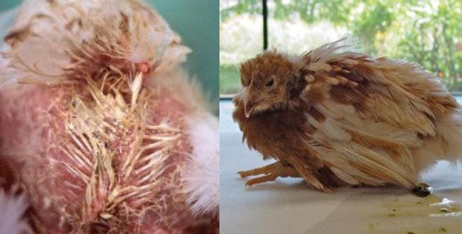Gà tiêu chảy, suy nhược cơ thể khi bị bệnh Gumboro ở gà