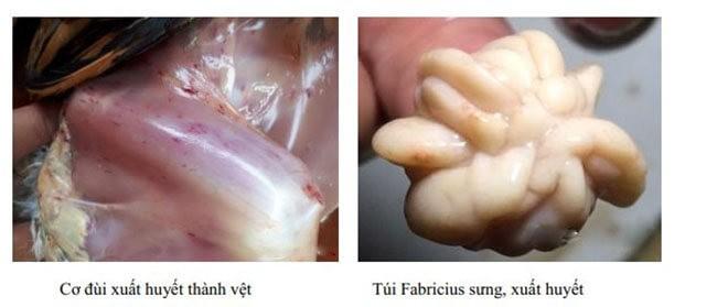 Cơ đùi xuất huyết, túi fabricius sưng khi bị bệnh Gumboro ở gà