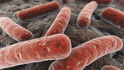 Trực khuẩn lao gây bệnh lao trên trâu bò