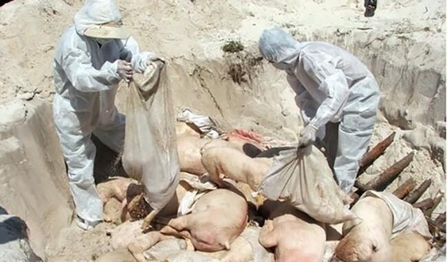 Tiêu hủy lợn bị nhiễm liên cầu khuẩn Streptococcus suis (hình ảnh minh họa)