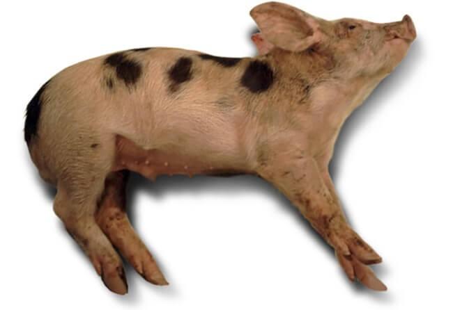 Lợn mắc liên cầu khuẩn có triệu chứng thần kinh
