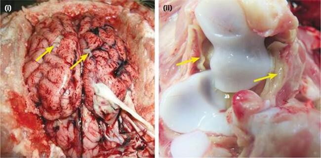 Não sung huyết, xuất huyết, khớp viêm tích nhiều dịch ở lợn mắc liên cầu
